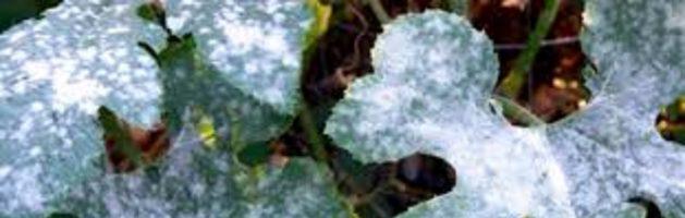 Fungicidas sistémicos de amplio espectro: conoce los hongos más comunes en cultivos